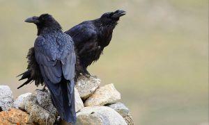 Corvus_corax_tibetanus