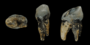 Graecopithecus_tooth
