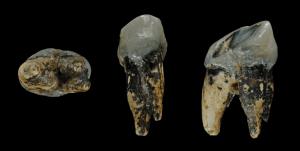 Graecopithecus_tooth