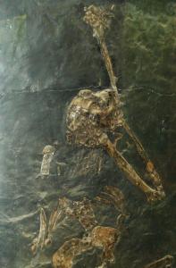 Oreopithecus